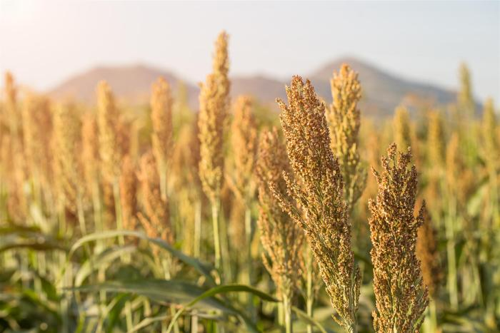 Use of sorghum on poultry feed
